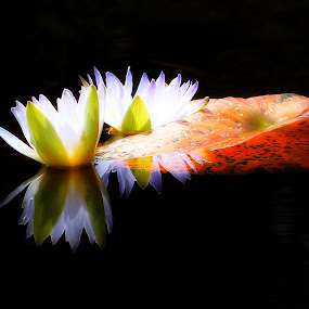 Waterlilies by René Wright - Flowers Flowers in the Wild ( reflection, black background, harold porter, lily, water, lilies,  )