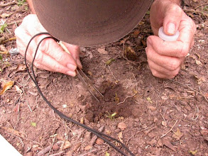 Photo: Close-up examination of dung for Histerids and Staphylinids