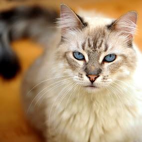 Siamese by Josh Norem - Animals - Cats Portraits ( cats, cat, kittens, feline, kitties, kitty, siamese )