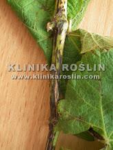 Photo: Phomopsis viticola na łozach