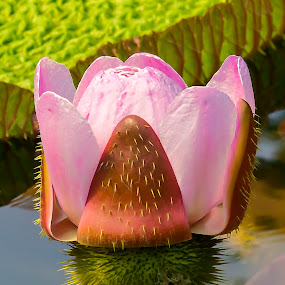 Victoria amazonia by Michael Michael - Flowers Flowers in the Wild ( pink flower, wild, spikes, amazonia, lily, victoria, lily pad, flower, victoria amazonia,  )