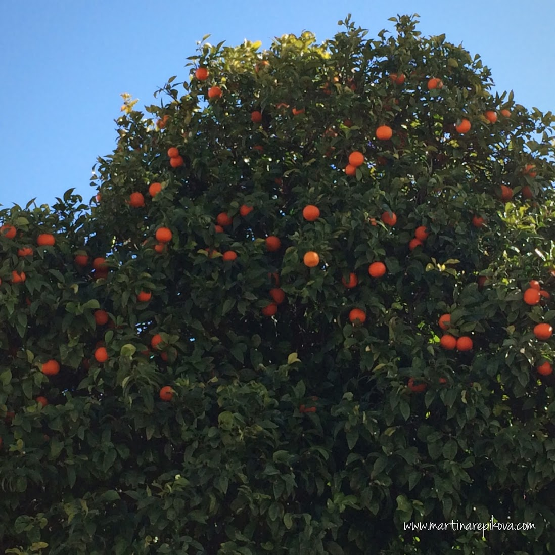 A tangerine tree in Athens, Greece
