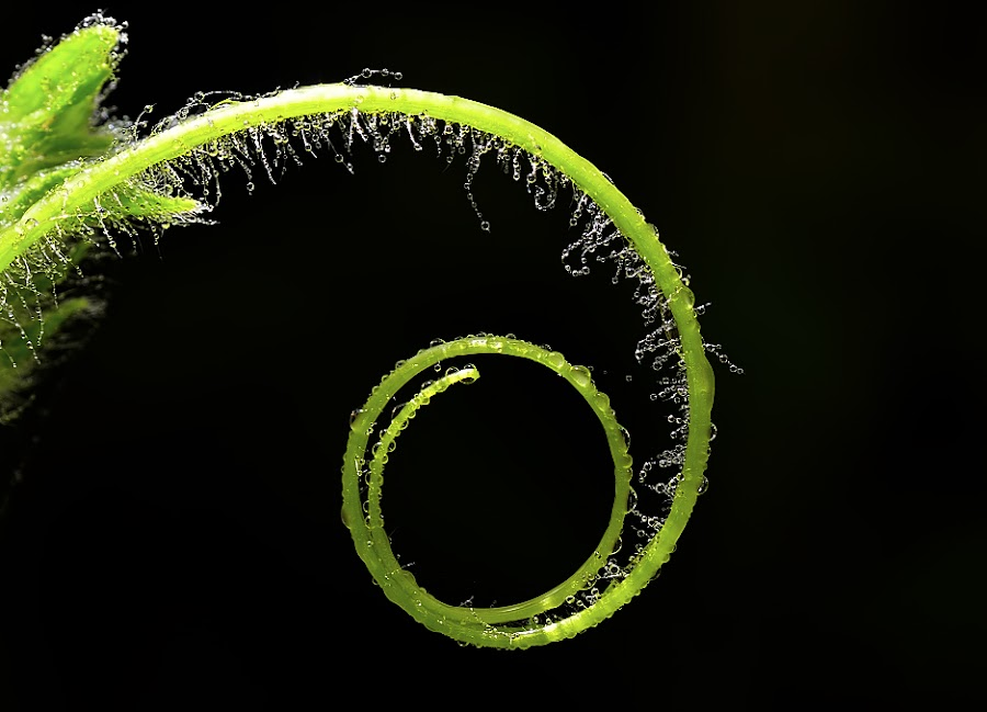 Tendril by Sunny Joseph - Nature Up Close Leaves & Grasses ( color, colors, landscape, portrait, object, filter forge )