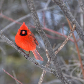Cardinal perched by Olivier Grau - Animals Birds ( bird, cardinal, red, branch, portrait,  )
