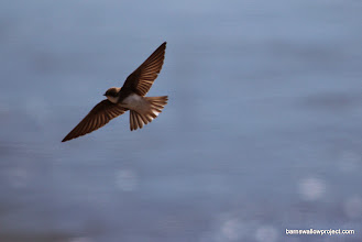 Photo: Sand martins in flight 5