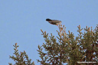 Photo: A cuckoo---a constant voice at our Yekaterinburg campsite...legend has it, the number of cuckoo calls is the number of years you'll live (apparently a long time for me)