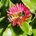 Western Honey Bee/ Nalo Meli