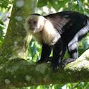 Panamanian White-faced Capuchin