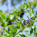 Sonoran Carpenter Bee (Female)/ Nalo Nui