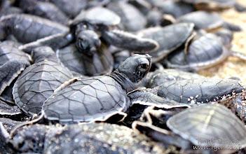 Photo: Baby Turtles on Pulau Sangalaki, Borneo, Indonesia