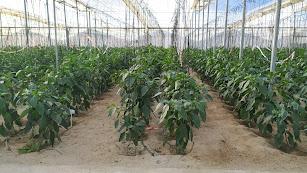 Cultivo de pimientos en invernadero.