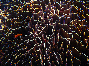 Photo: coral maize