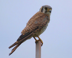 Photo: American Kestrel