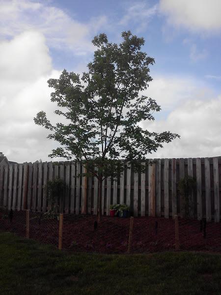 Photo: Maple is growing!