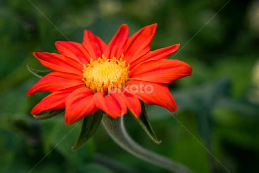 Red flower single flower flowers pixoto red flower by darrell evans flowers single flower floral green nature mightylinksfo