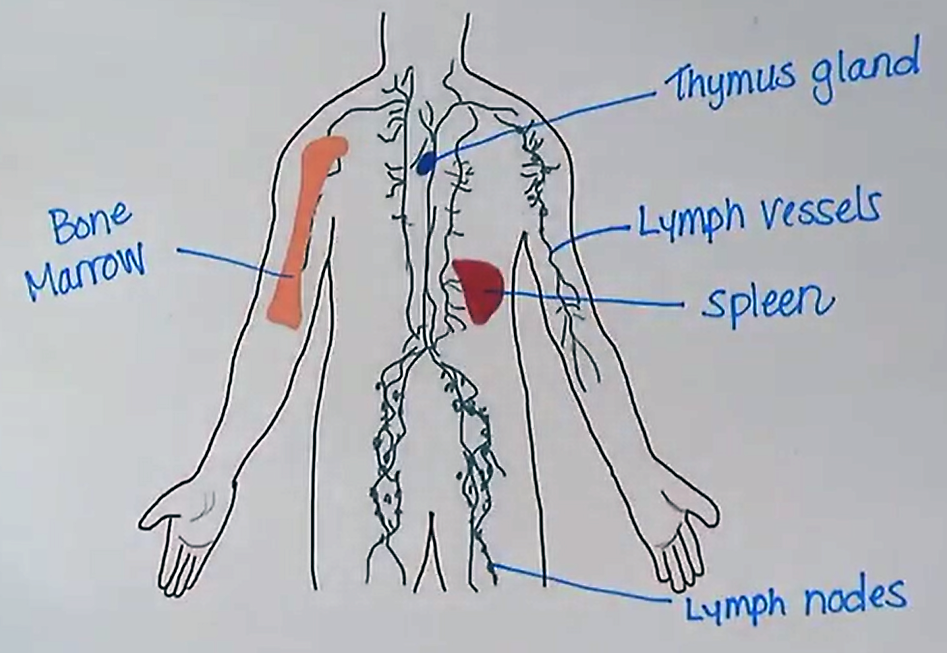 LymphaticSystem.png