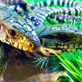 Baby Tegus by Rick Luiten - Animals Reptiles