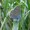 Common blue_male
