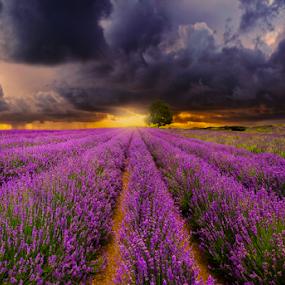 Lavender Farm New Zealand by Anupam Hatui - Landscapes Prairies, Meadows & Fields ( farm, landscape, new zealand, lavenders, fields,  )