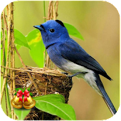 Bird Wallpaper Ringtone