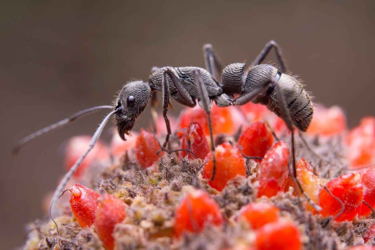 black-ant-flower.jpg