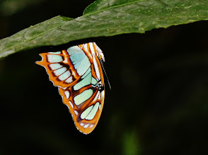 Photo: Malachitfalter (Siproeta stelens, engl. Malachite). Dieser 83 bis 101 mm große Falter hält sich zum Schutz vor Regen - wie auf diesem Foto - gerne an der Unterseite von Blättern auf.
