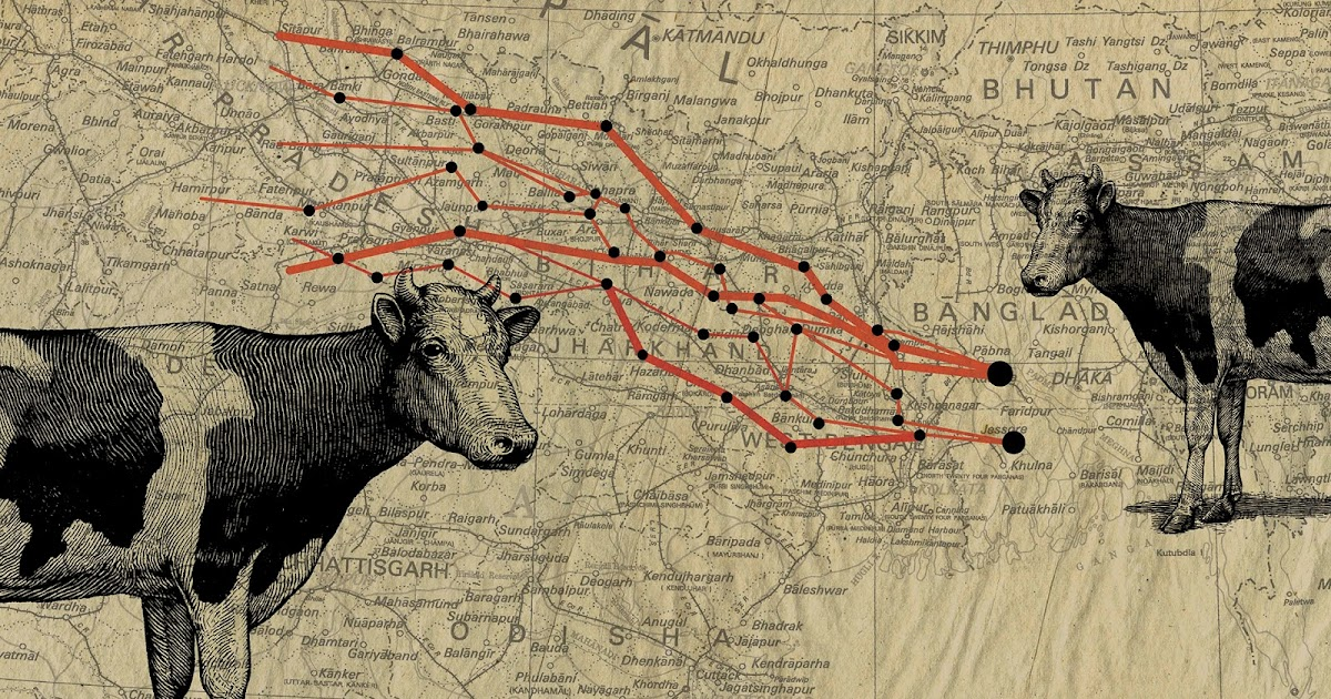 Inside India's Hindu cattle-smuggling networks