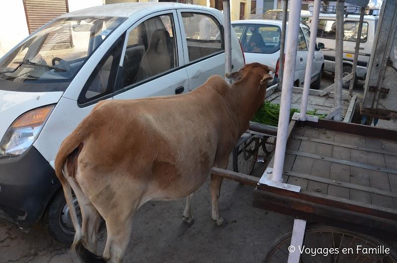 Bundi, vache au pt déj