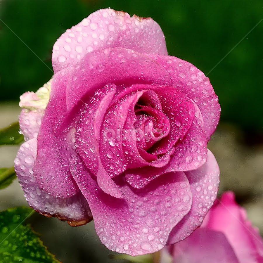 Rose n00150 by Gérard CHATENET - Flowers Single Flower