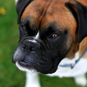 Waiting for a treat  by Annie Japaud - Animals - Dogs Portraits ( animals, reflection, boxer, boxer dog, dog, portrait )