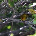 Yellow Warbler (Golden form)