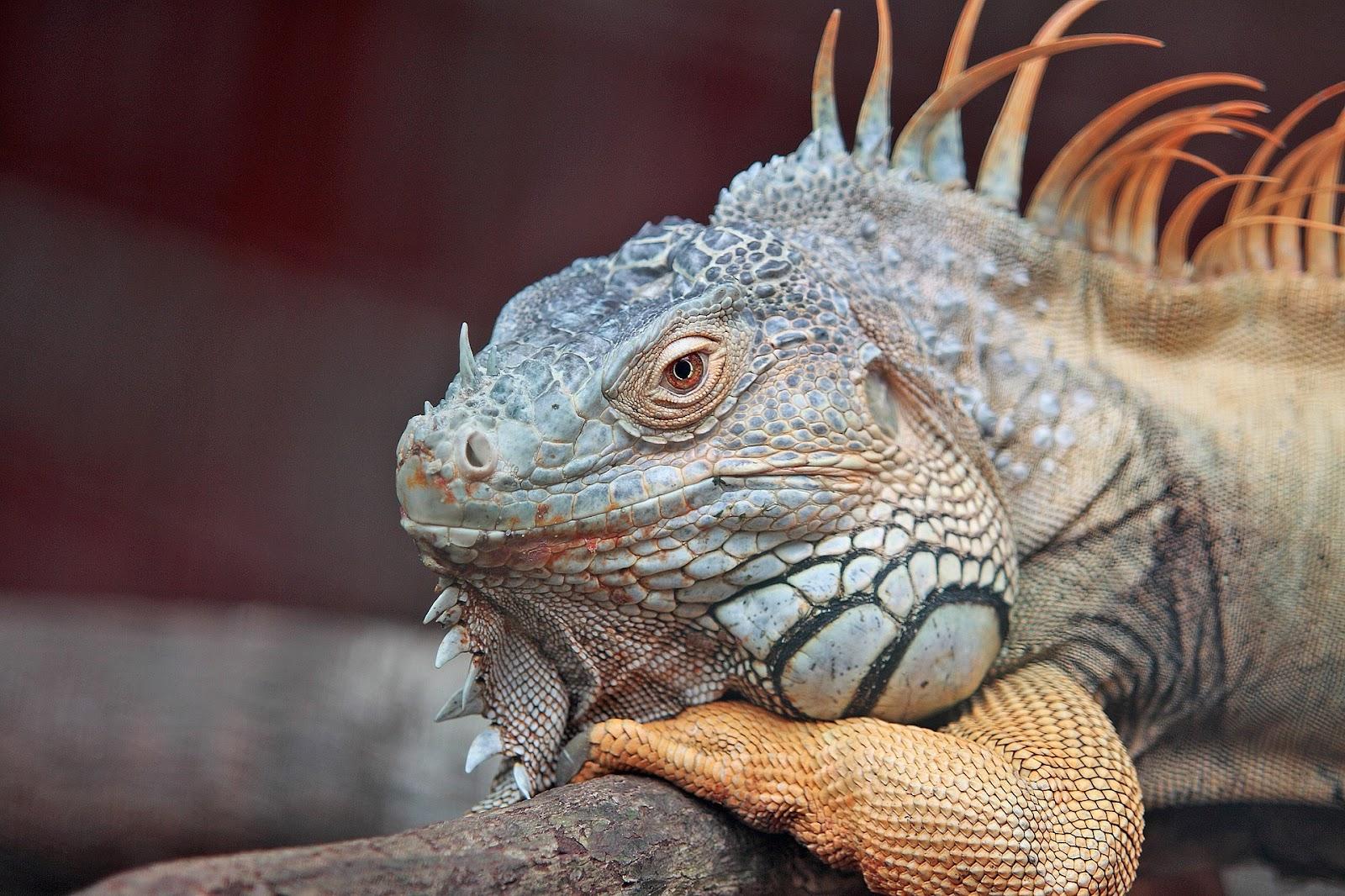 Iguana on branch