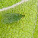 Dictyopharid planthopper