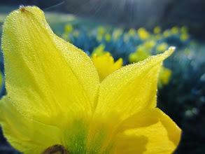 Photo: View over golden daffodils in spring at Wegerzyn Gardens MetroPark in Dayton, Ohio.