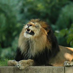 The king on a wall by Mike Lennett - Animals Lions, Tigers & Big Cats ( lion, mane, fur, mike lennett, teeth, bokeh, animal )