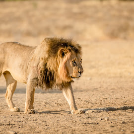 Lion by Rute Martins - Animals Lions, Tigers & Big Cats ( cat, south africa, male lion, kgalagadi, lion,  )