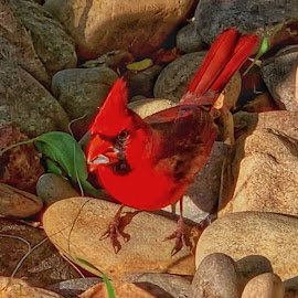Cardinal Feast by Lorna Littrell - Instagram & Mobile iPhone ( red, bird, red bird, cardinal, iphone, nature photography )