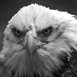 Angry bird by Garry Chisholm - Black & White Animals ( raptor, bird of prey, nature, bald eagle, garry chisholm )