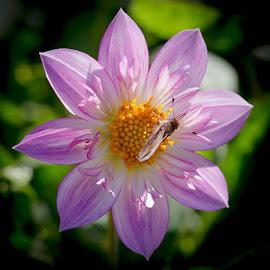 With butterfly by Janet Marsh - Flowers Single Flower ( dahlia, butterfly, purple )