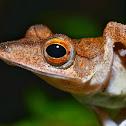 Collett's tree frog