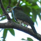 Blue-bearded Bee-eater.