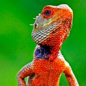 Lizard by Pravin Dabhade - Animals Reptiles ( canon, lizard, nature, close up )