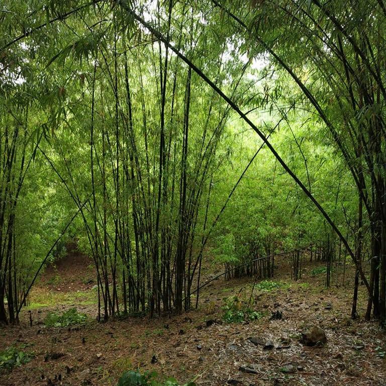 Sahyadri Bamboo Nursery - Mr  Milind Patil (M Sc  Forestry)