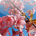 Cherry Blossom for Chat icon