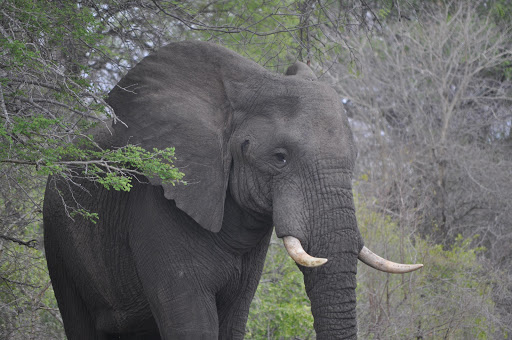 An African elephant in the Kruger National Park. File photo.