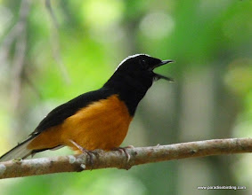 Photo: The very vocal and Bornean endemic White-crowned Shama, Poring Hot Springs