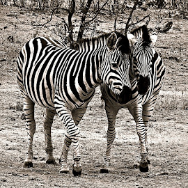 Gossiping Zebra by Pieter J de Villiers - Black & White Animals