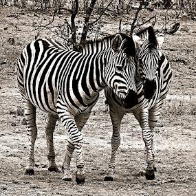 Gossiping Zebra by Pieter J de Villiers - Black & White Animals