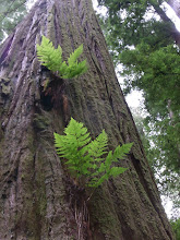 Photo: Ferns growing from the redwood