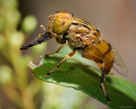 """Photo: My, what a long proboscis you have there! Probably an Eristalinus sp., a Syrphid / hover fly at the Blackburn Lake Sanctuary, Melbourne.  It looks like an Eristalinus punctulatus, the Australian """"Native Drone Fly"""" http://www.ozanimals.com/Insect/Native-Drone-Fly/Eristalinus/punctulatus.html  #MacroMonday"""